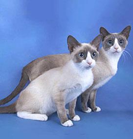 American Curl Cat Price Malaysia